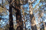 Surrounded by Karri trees